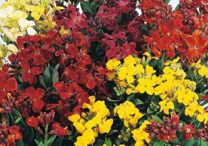 Photograph of wallflowers
